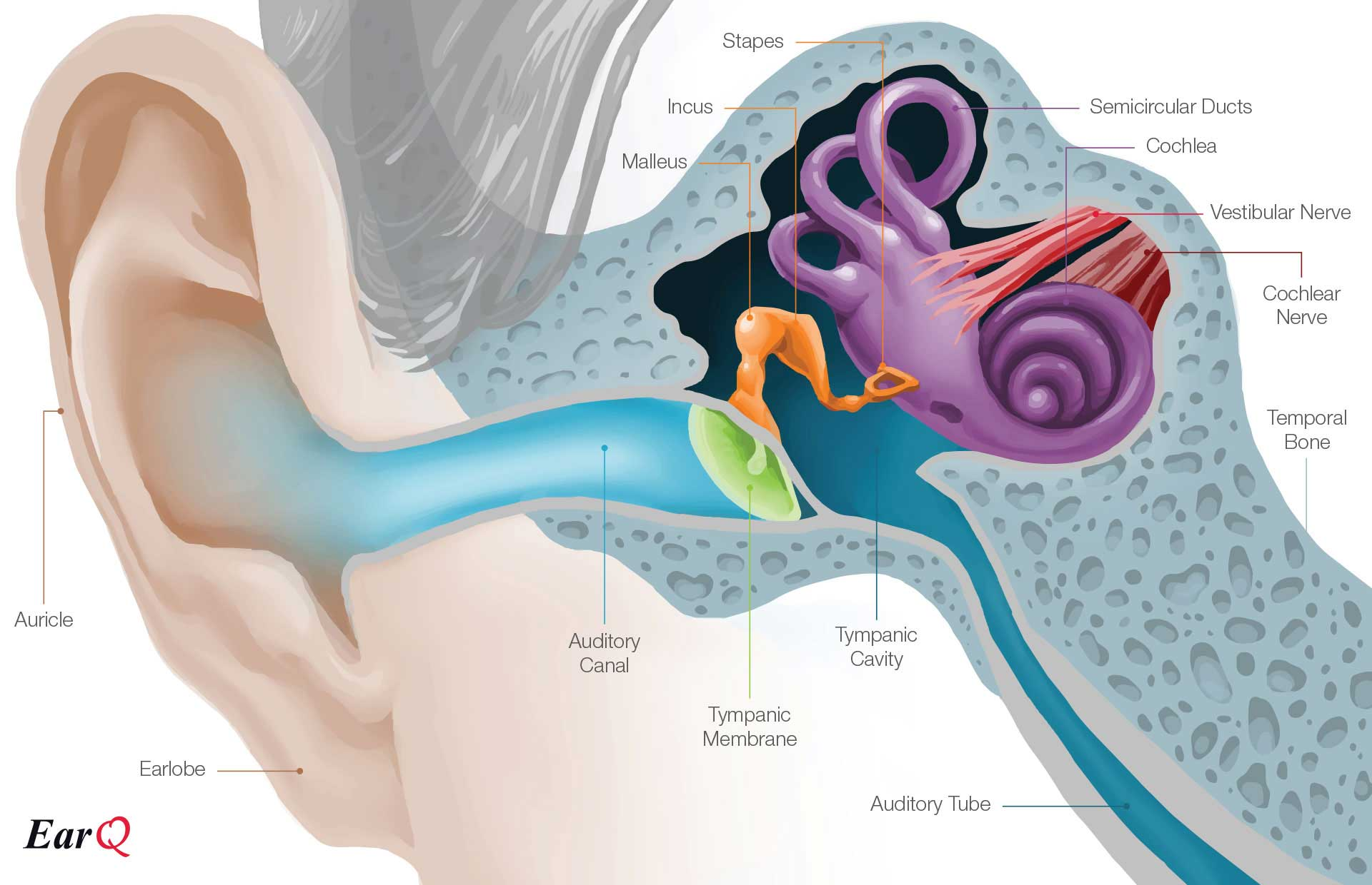 Anatomy of the ear inner ear middle ear outer ear earq anatomy of the ear chart ccuart Images