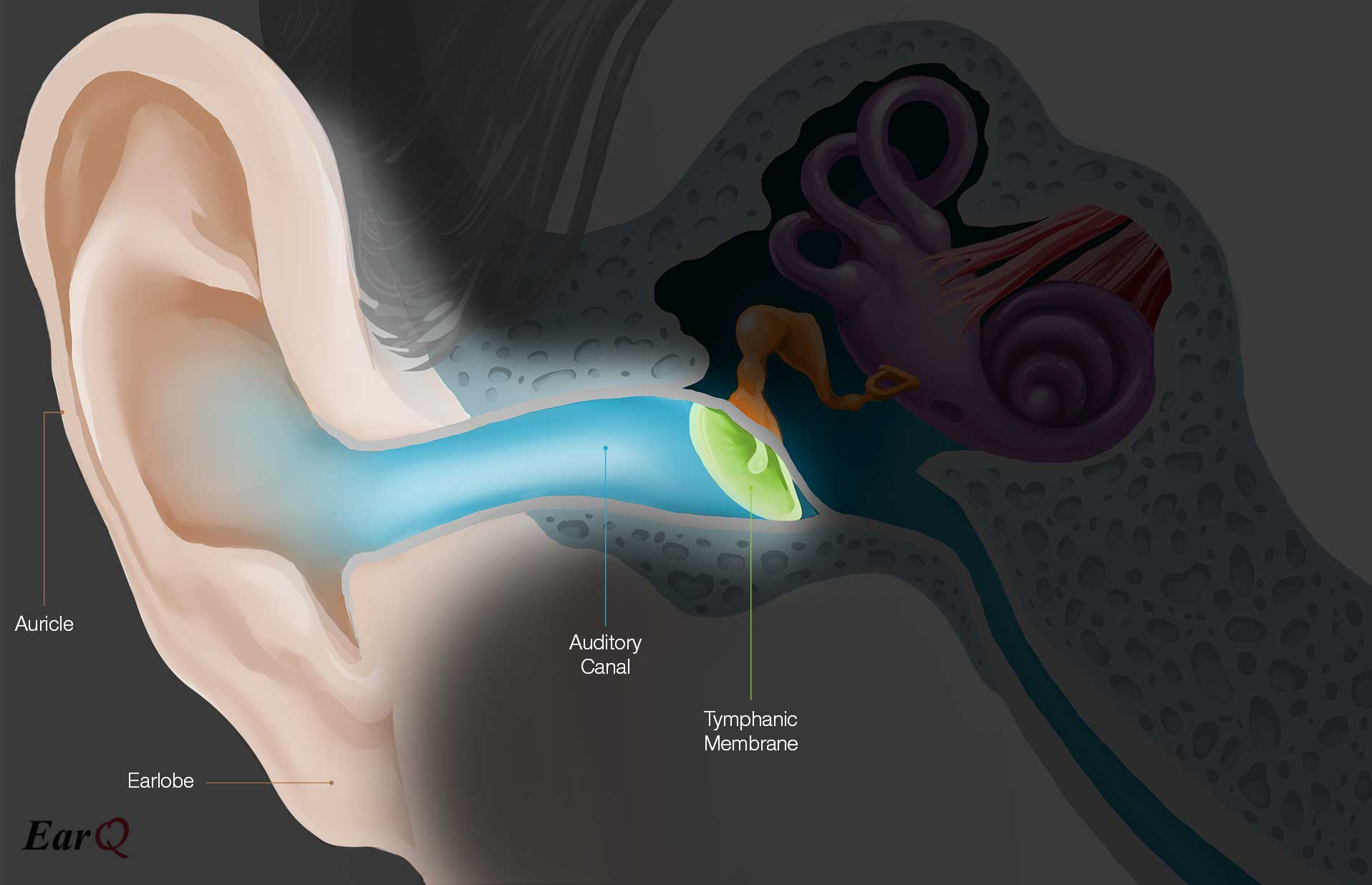 EarQ Outer Ear Anatomy