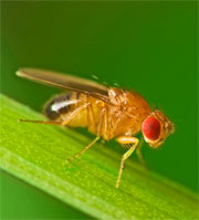 fruit fly studied to improve hearing loss