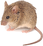mouse helps with hearing loss