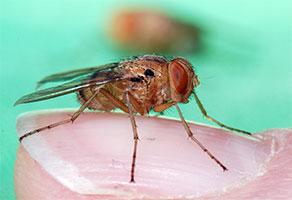 Ochracea -  Fly
